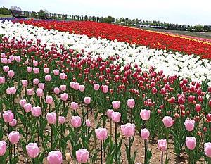 tulip9s.jpg
